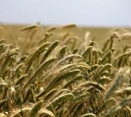 agricultura centeio campo
