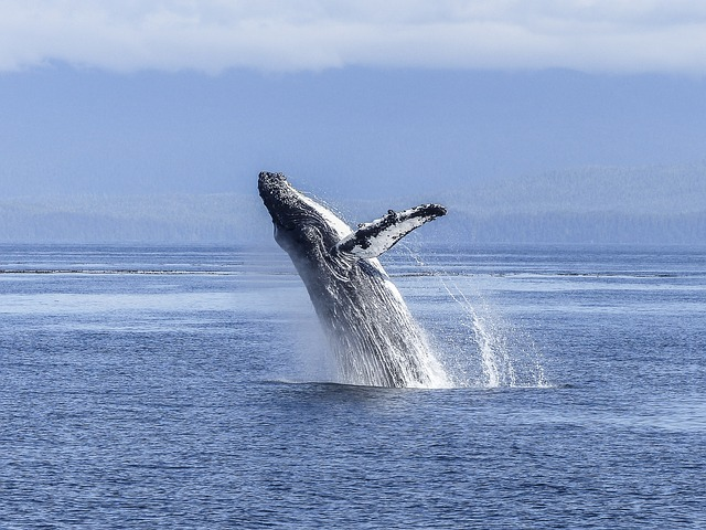 humpback baleia oceanos