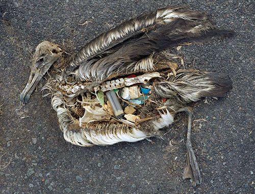 aves marinhas comem plástico