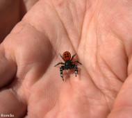Aranha-de-veludo-de-kollar (Eresus cinnaberinus)
