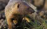 saca-rabos, Herpestes ichneumon, mangusto, manguço ou escalavardo,