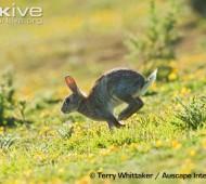 Coelho a correr pastagem Coelho-bravo (Oryctolagus cuniculus)